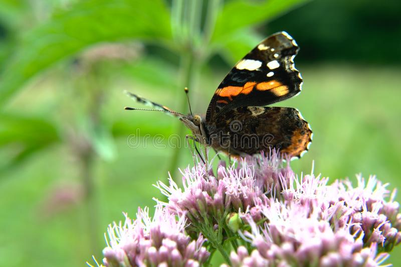 Czerwonego Admiral motyl na kwiacie zdjęcia stock