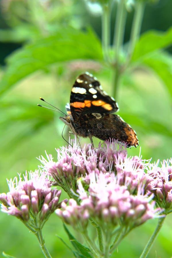 Czerwonego Admiral motyl na kwiacie obraz stock