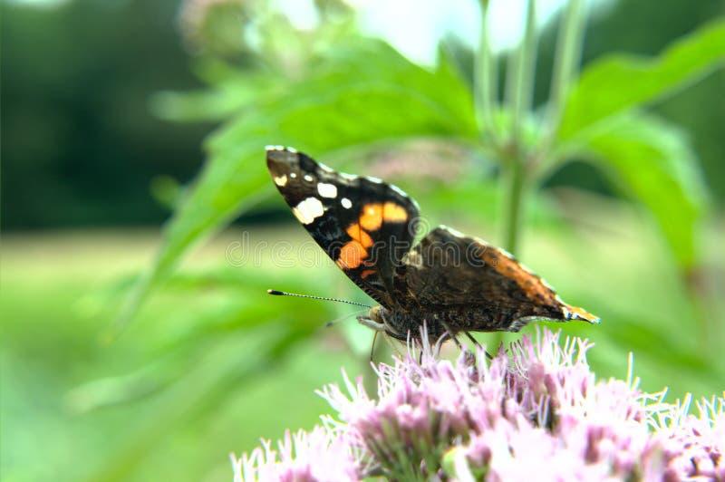 Czerwonego Admiral motyl na kwiacie zdjęcie royalty free