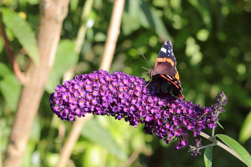 Czerwonego admiral motyl na kwitnącym lato bzie zdjęcia stock