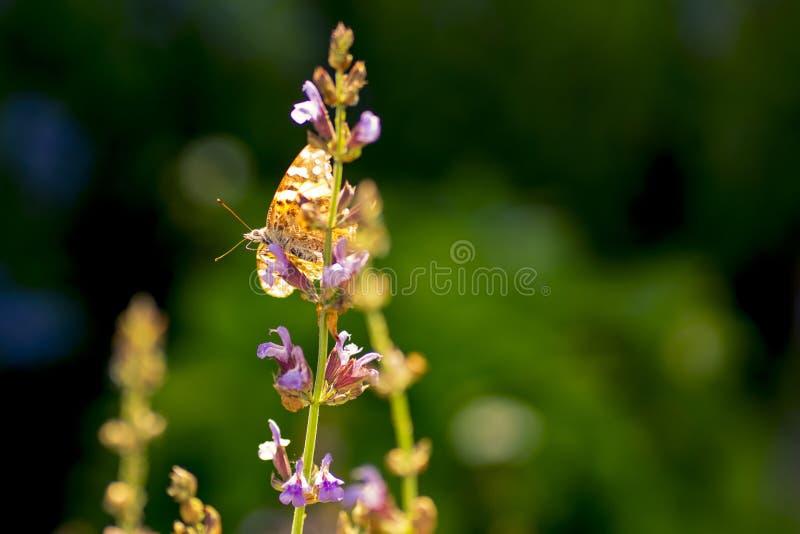 Czerwonego Admiral motyl na mądrym kwiacie zdjęcie stock