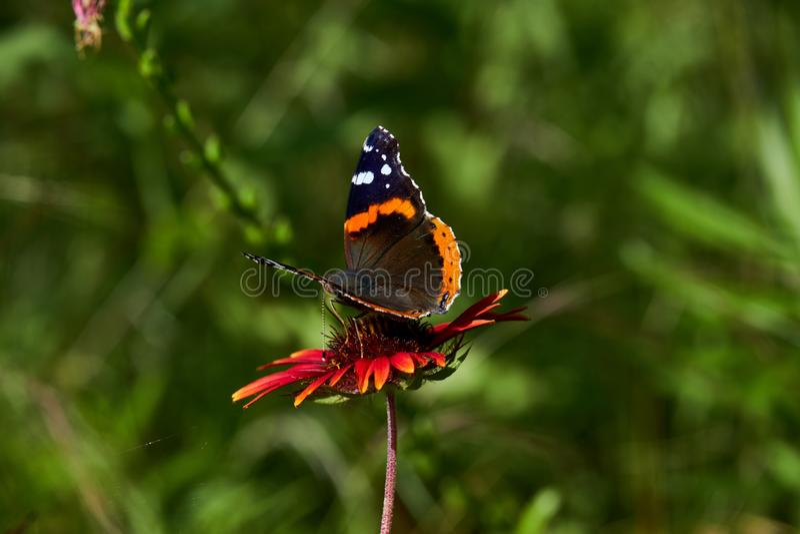 Czerwonego admiral Vanessa motyli atalanta umieszcza? na Fireweel Indina galardii Powszechnym kwiacie fotografia stock