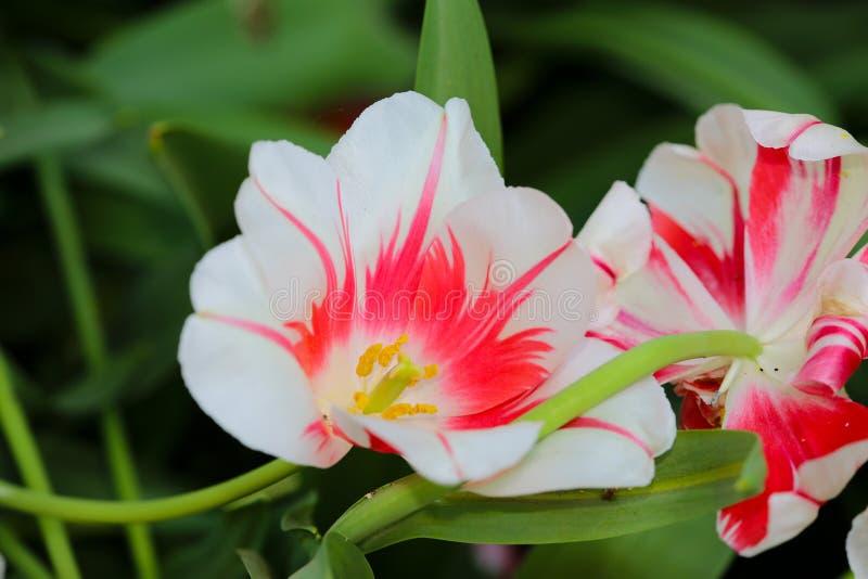 Czerwonego & białego kwiatu zakończenie up obrazy stock