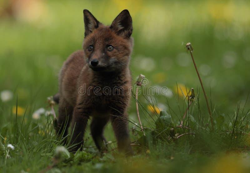 Czerwonego Fox lisiątka zbliżenie obraz stock