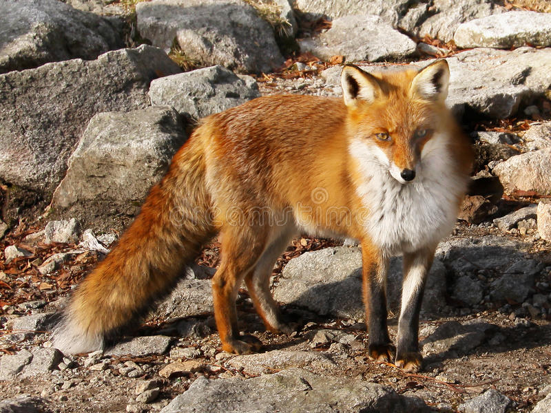 Czerwonego Fox lisiątka zbliżenie fotografia stock