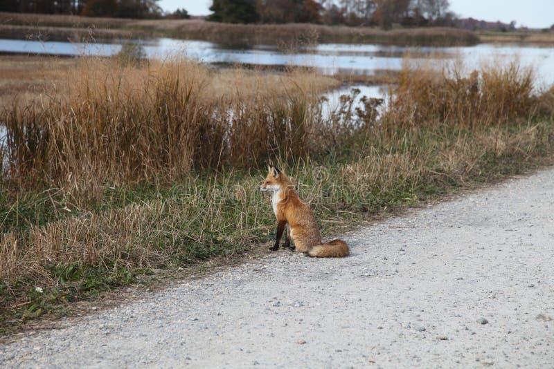 Czerwonego Fox obsiadanie wzdłuż jezdni obrazy stock