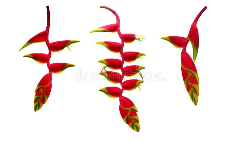 Czerwonego Heliconia rostrata homara wiszący pazur lub fałszywy ptak paparadise kwiatu tropikalna roślina ustawiamy odosobnionego obraz royalty free