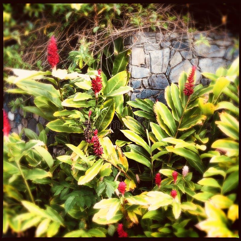 Czerwonego imbiru rośliny fotografia royalty free