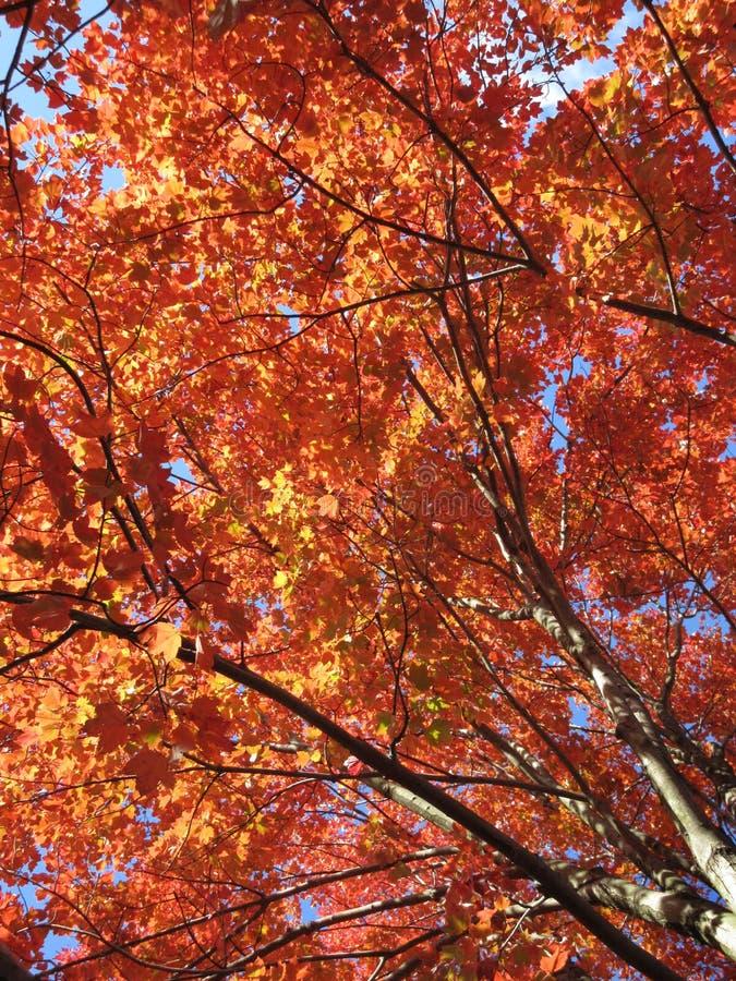 Czerwonego klonu Drzewny baldachim w Listopadzie zdjęcie stock