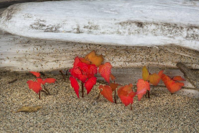 Czerwonego klonu rozsady przeciw bielącemu driftwood w północno-zachodni M zdjęcie stock