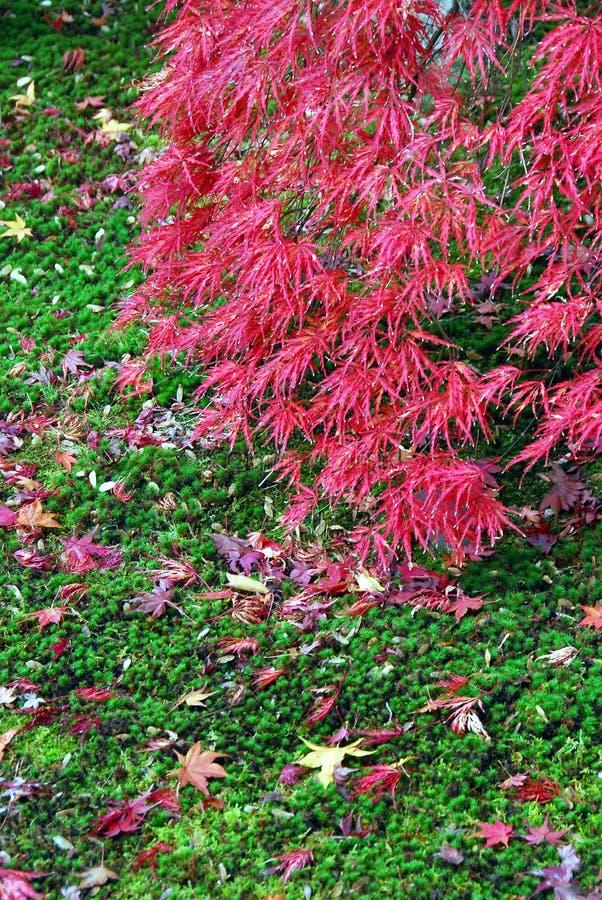 Czerwonego klonu zieleni mech zdjęcie royalty free