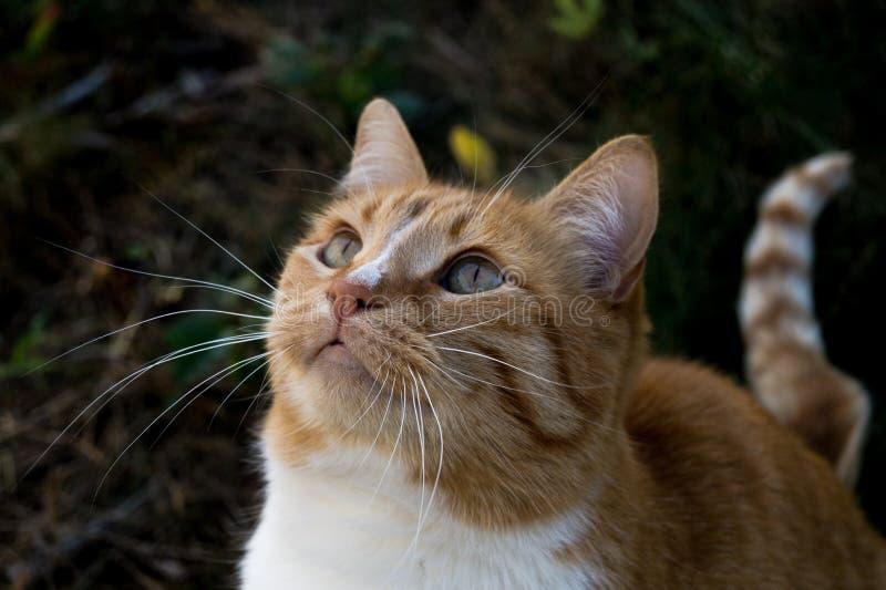 Czerwonego kota przyglądający up i główkowanie o coś zdjęcie royalty free
