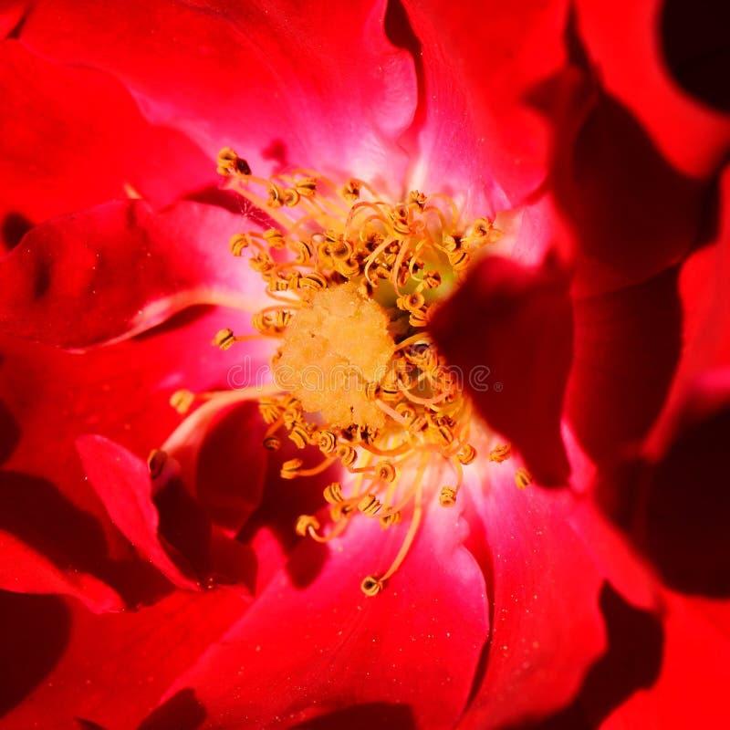 Czerwonego kwiatu makro- fotografia obrazy royalty free