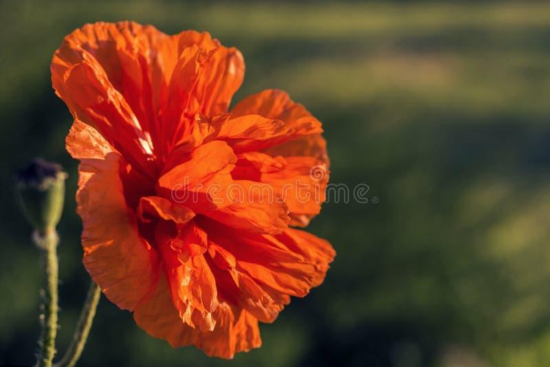 Czerwonego lata makowy kwiat przy ogrodowym zmierzchem Czerwoni maczki w miękkim świetle zdjęcie royalty free
