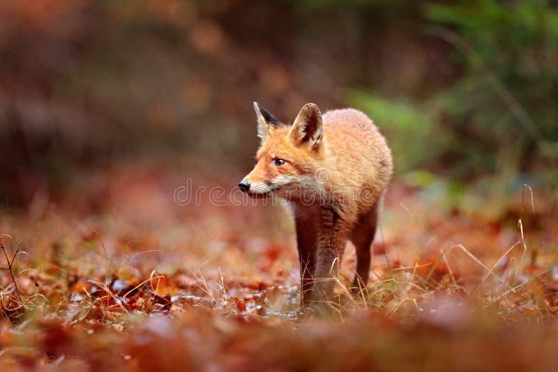 Czerwonego lisa bieg na pomarańczowych jesień liściach ?liczny Czerwony Fox, Vulpes vulpes w spadku lasowym Pi?knym zwierz?ciu w  zdjęcie stock