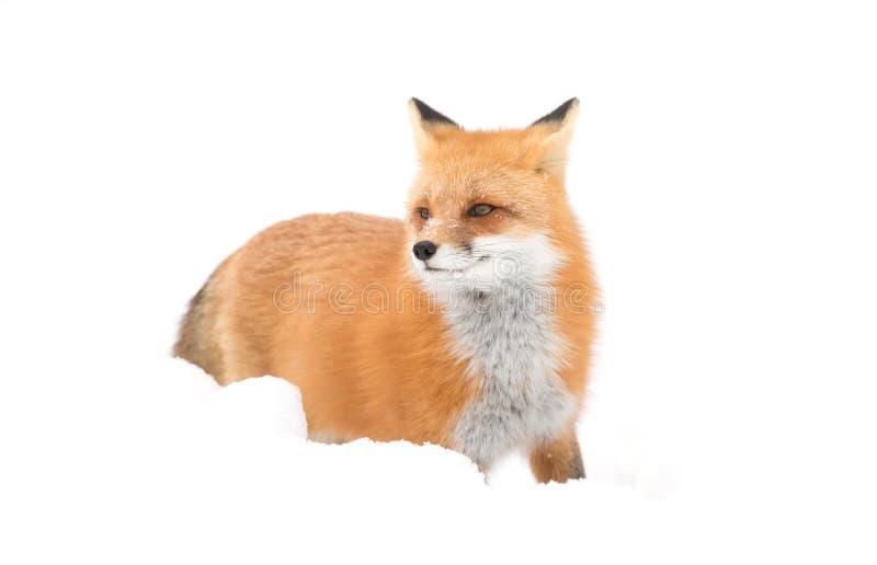 Czerwonego lisa odprowadzenie w śniegu w Algonquin parku obraz royalty free
