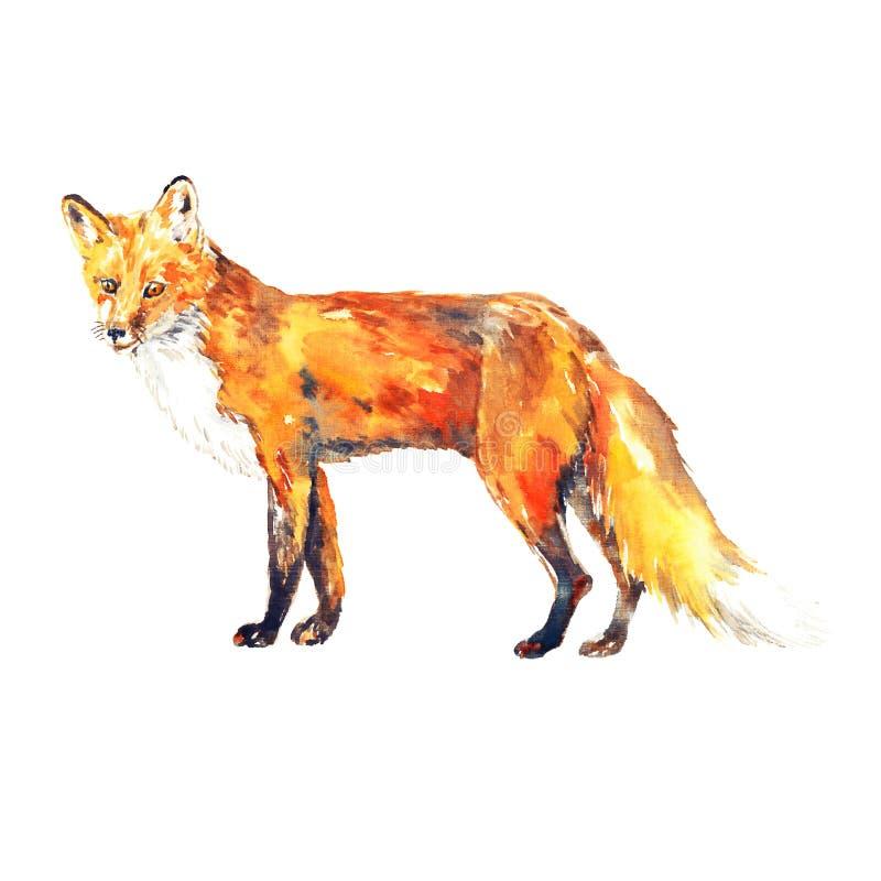 Czerwonego lisa pozycja, odosobniona akwareli ilustracja ilustracji