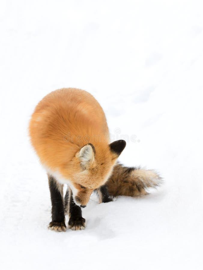 Czerwonego lisa Vulpes vulpes polowanie zdjęcia stock
