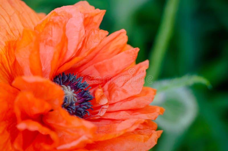 Czerwonego maczka zakończenia strzału kwiatu papaver makro- rhoeas fotografia royalty free