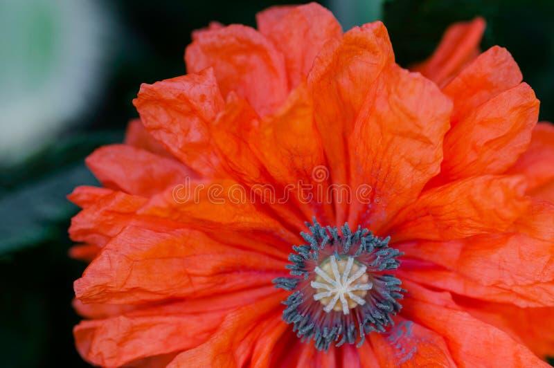 Czerwonego maczka zakończenia strzału kwiatu papaver makro- rhoeas obrazy royalty free
