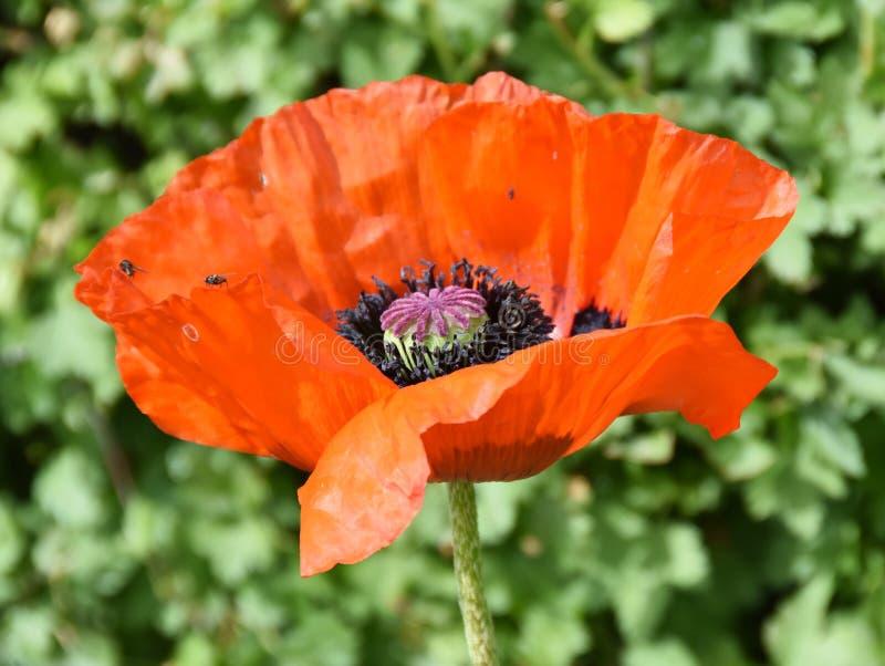 Czerwonego makowego kwiatu inside zbliżenie zdjęcia stock