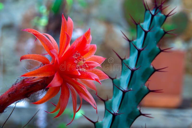 Czerwonego matucana aurantiaca kaktusowy kwiat zdjęcia royalty free