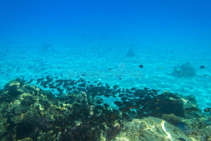 Czerwonego morza podwodna sceneria z tropikalnymi rybami zdjęcie royalty free
