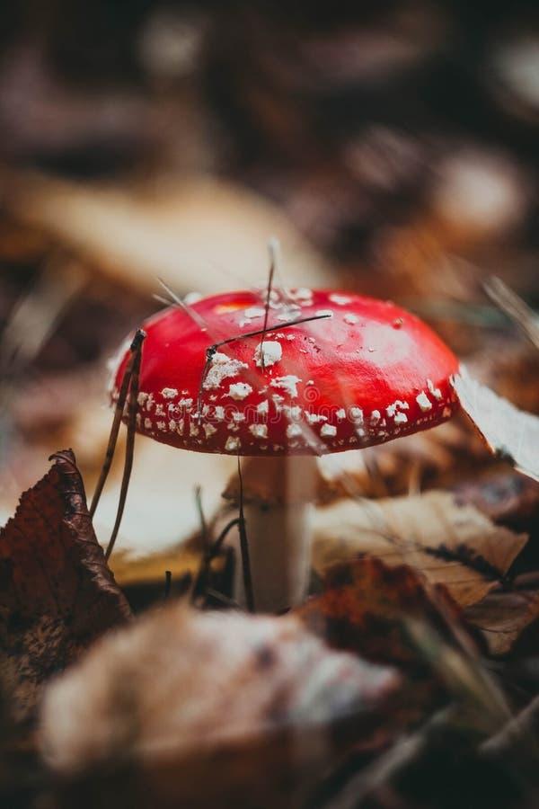 Czerwonego muchomoru jadowity pieczarkowy przyrost w lesie, komarnicy bed?ki Amanita grzybowy muscaria obraz royalty free