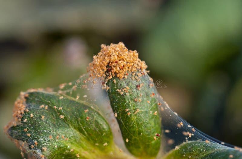 Czerwonego pająka lądzieniec infestation na truskawkowej uprawie zdjęcia royalty free