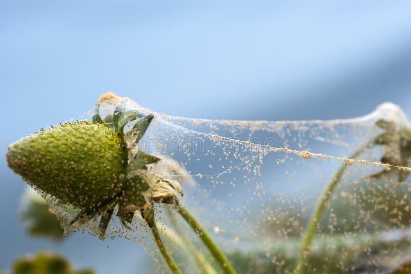 Czerwonego pająka lądzieniec infestation na truskawkowej uprawie obrazy royalty free