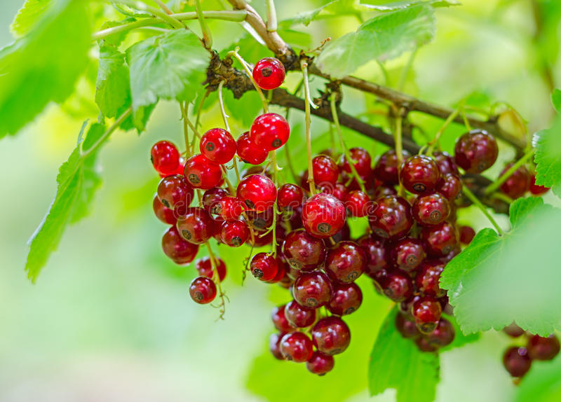 Czerwonego rodzynku jagoda na krzaku fotografia royalty free