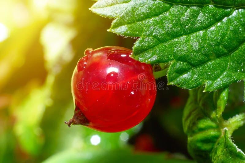 Czerwonego rodzynku jagoda w ogródzie z w górę wielkiego światło słoneczne racy skutka obraz stock
