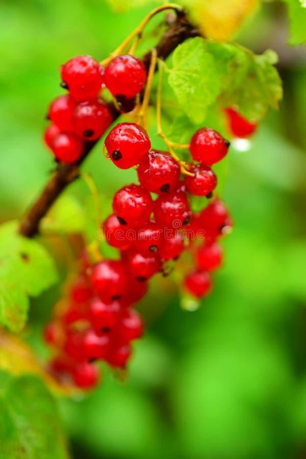 Czerwonego rodzynku jagody na krzaku zdjęcie royalty free