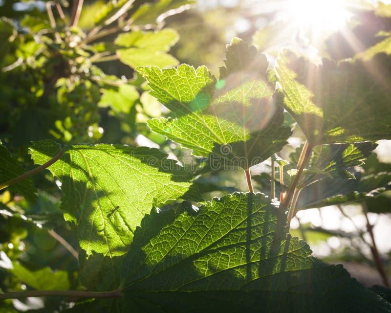 Czerwonego rodzynku liście w świetle słonecznym zdjęcia royalty free