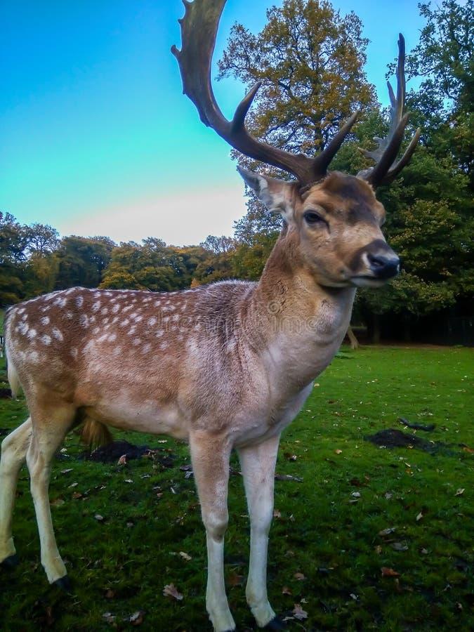 Czerwonego rogacza jeleń w jesień parku obrazy stock