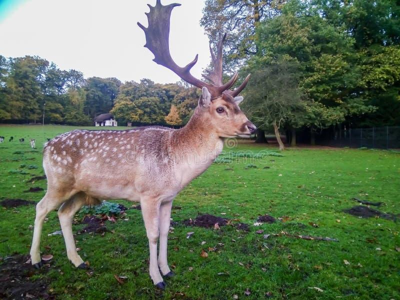 Czerwonego rogacza jeleń w jesień parku obrazy royalty free