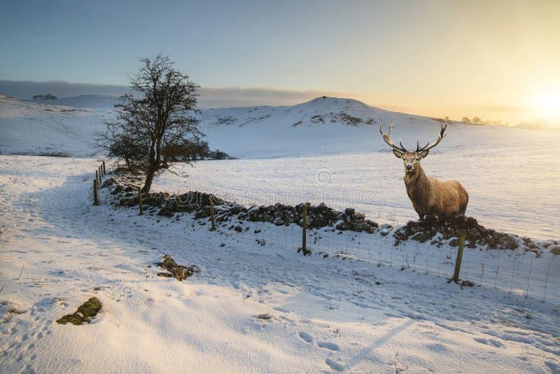 Czerwonego rogacza jeleń w pięknym śniegu zakrywał zima krajobraz przy sunr obrazy stock