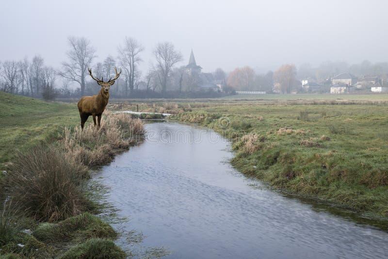Czerwonego rogacza jeleń w Zimnym mglistym zima krajobrazie nad strumieniem w Engl zdjęcie stock