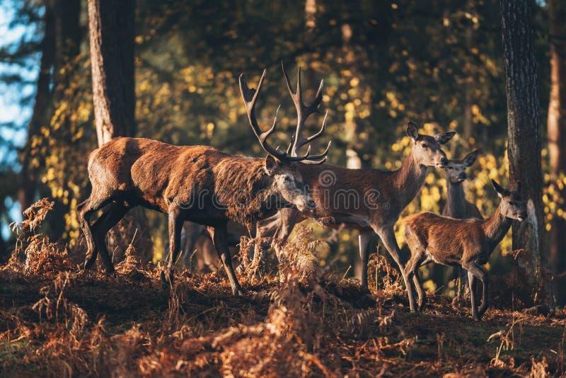 Czerwonego rogacza jeleń z łaniami zaświecał światłem słonecznym w jesień lesie obrazy stock