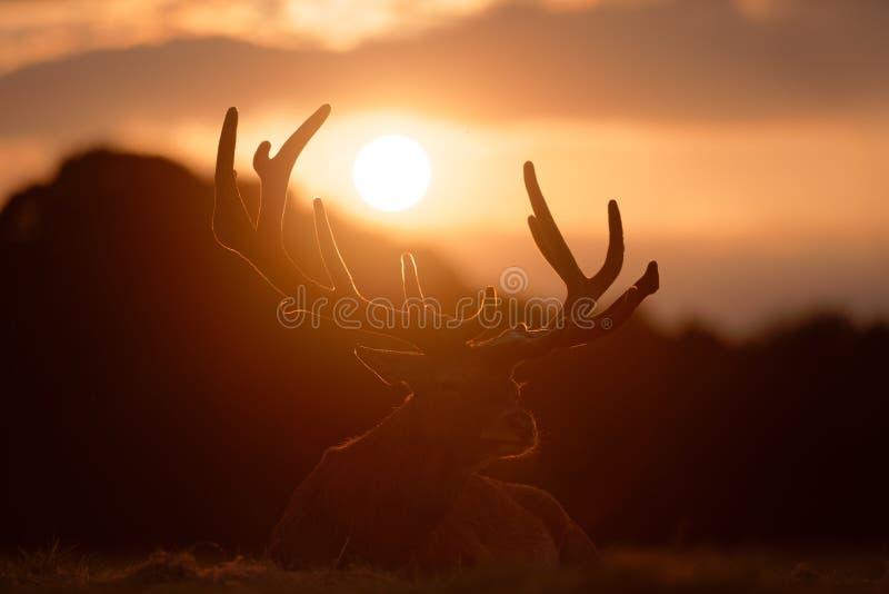 Czerwonego rogacza jelenia Łgarski puszek przy zmierzchem obrazy stock