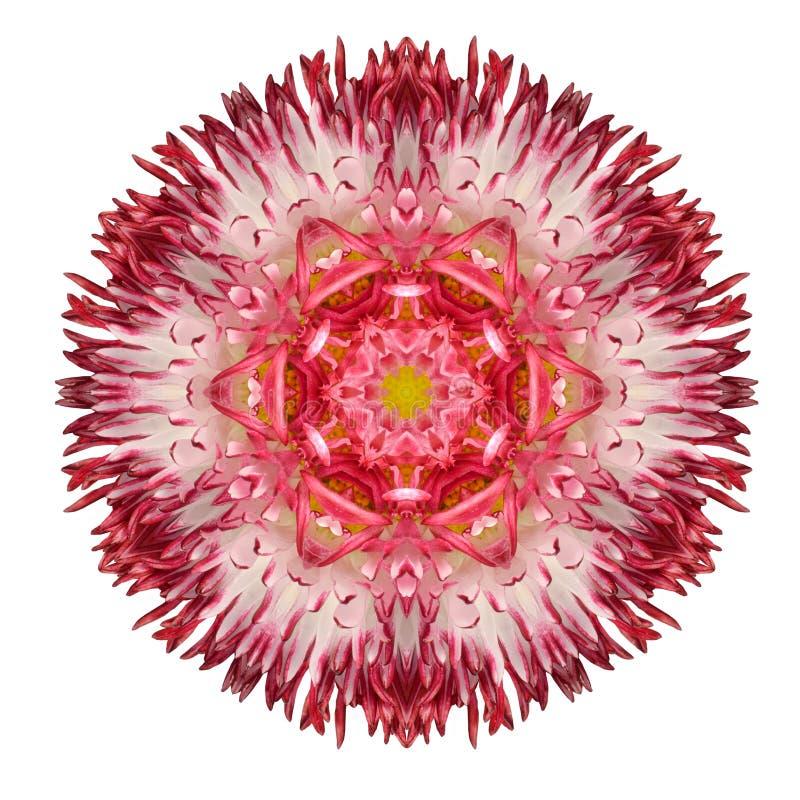 Czerwonego stokrotki mandala kwiatu Kalejdoskopowy Odosobniony na bielu fotografia stock