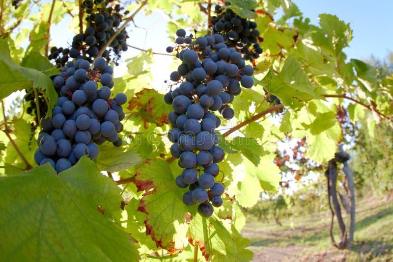 czerwonego wina winogrona zdjęcie stock