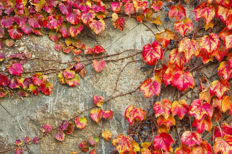 Czerwonego winogrona liście Virginia pełzacz fotografia stock