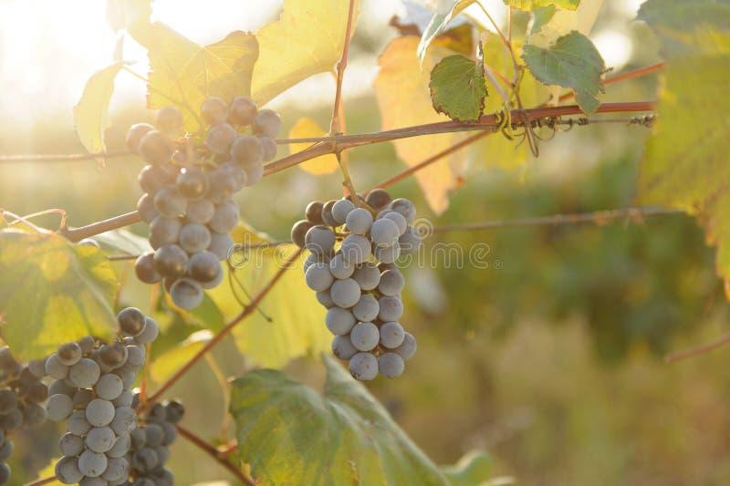 Czerwonego winogrona wiązka obraz royalty free