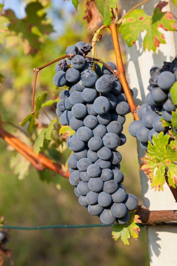 Czerwonego winogrona wiązki. zdjęcia stock