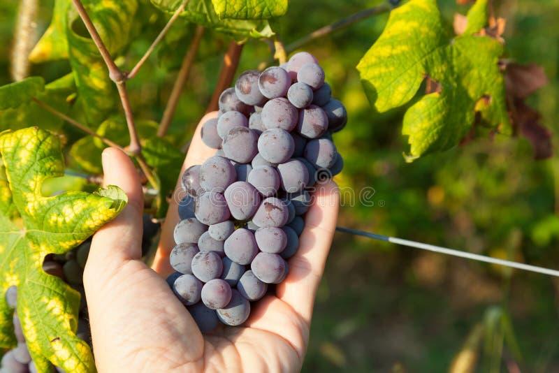 Czerwonego winogrona wiązki. obraz stock