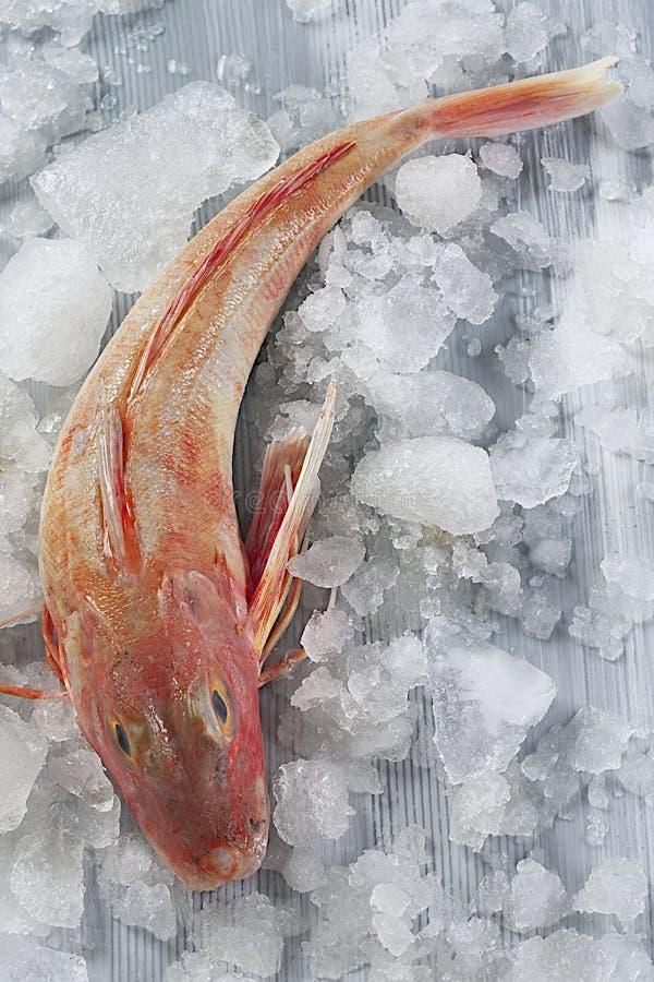 Czerwonej barweny ryba odizolowywająca na popielatym tle obraz royalty free