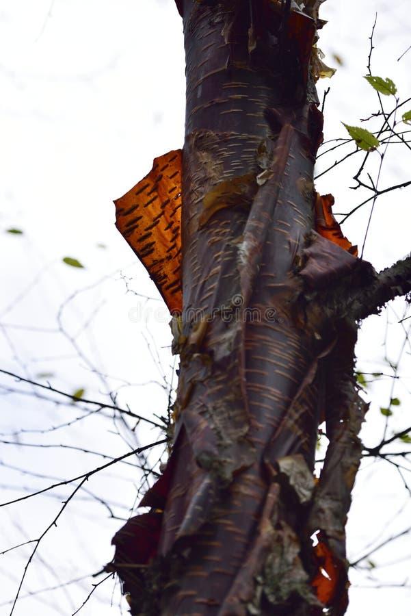 Czerwonej brzozy barkentyny backlit zakończenie zdjęcie stock