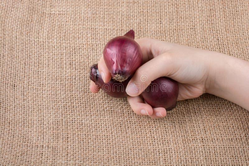 Czerwonej cebuli żarówki w ręce na kanwie fotografia royalty free