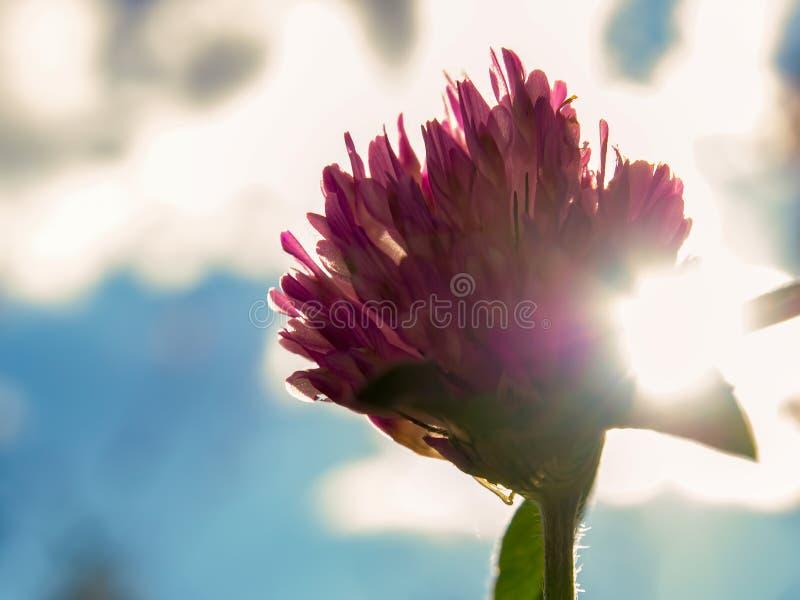 Czerwonej koniczyny kwiat przy popołudniem obraz stock